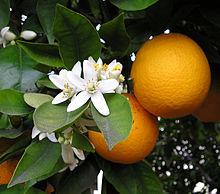 オレンジ花と実