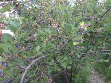 ブルーベリーの木2